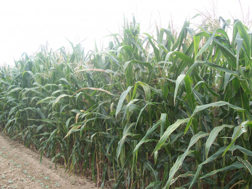 Corn /lb (various varieties)